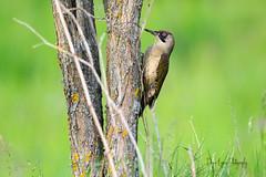 Pic vert (Picus Veridis) (denis.loyaux) Tags: denis loyaux domaine des oiseaux nikon d5 ariège mazères france picvert picusviridis europeangreenwoodpecker piciformes picidés domainedesoiseaux midipyrénnées birds
