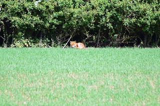 My First wild fox capture !!
