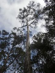 Eucalyptus sp (Baractus) Tags: truganini reserve tasmania eucalyptus john oates inala nature tours