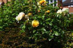 DSC_9992 (PeaTJay) Tags: nikond750 sigma reading lowerearley berkshire macro micro closeups gardens outdoors nature flora fauna plants flowers rose roses rosebuds