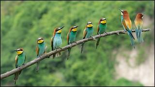 Guêpier d'Europe / European Bee-eater