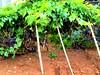 Madeira, Portugal. Grape Harvest (dimaruss34) Tags: newyork brooklyn dmitriyfomenko portugal madeira svetlanafomenko funchal grape