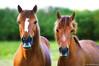 Duo (Clém VDB (TIOGRIS)) Tags: cheval animal nature potrait duo