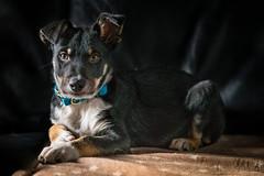 gotan (DanMasa) Tags: border collie gotan shadowman tricolor smoth cae cane dog chien portrait pet photography