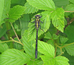 Sable clubtail - male (Stenogomphurus rogersi) (Vicki's Nature) Tags: sableclubtail male dragonfly black yellow dorsal leaves weed jbowens georgia vickisnature canon s5 4169