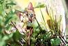 Repérage (Chamaloote & Fabrizio) Tags: chat félin bengale race chaton herbe nature fraise soleil lumière yeuxvert