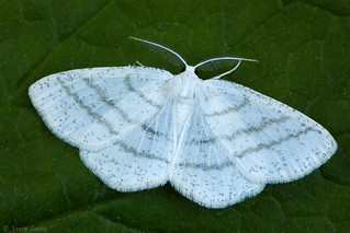 Common White Wave (Cabera pusaria).