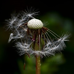 Some See A Weed, Others See A Wish... (ggcphoto) Tags: dandelion weed dew nature wish
