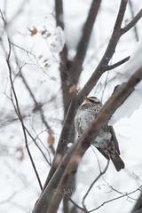 Turdus eunomus (kenta_sawada6469) Tags: bird birds nature winter japan aves wildlife muscicapidae snow