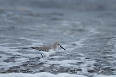 Calidris alpina (kenta_sawada6469) Tags: bird birds nature winter japan aves wildlife scolopacidae sea seaofjapan
