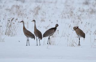 Grues du Canada - Sandhill Crane