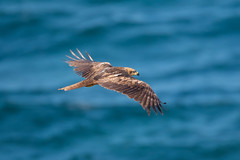 Black Kite (Josh13770) Tags: blackkite kite eagle raptor birdofprey bird nikkor 200500mmvr nikon superb milvusmigrans