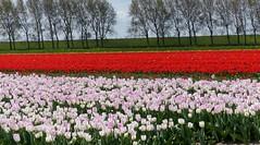 Foto Roel van Deursen Bollenpracht Goeree Overflakkee - Oude Tonge 2018-04-23 (14) (Roel van Deursen) Tags: tulpen vol bloei op goereeoverflakkee 2018
