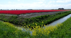 Foto Roel van Deursen Bollenpracht Goeree Overflakkee - Oude Tonge 2018-04-23 (1) (Roel van Deursen) Tags: tulpen vol bloei op goereeoverflakkee 2018