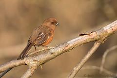 Eastern Towhee (Matt Shellenberg) Tags: bird birds eastern towhee easterntowhee illinois nature wildlife matt shellenberg