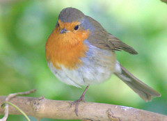 One legged Robin (Tony Worrall) Tags: pattern organicpattern macro texture outdoor nature natural ourdoors wild life live hue outdoors season color cool nice colours preston lancs lancashire city england regional region area northern uk update place location north visit county attraction open stream tour country welovethenorth nw northwest britain english british gb capture buy stock sell sale outside caught photo shoot shot picture captured bird wildlife fly birds leg robin red breast