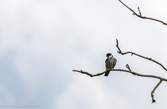 9Q6A1231 (2) (Alinbidford) Tags: alancurtis alinbidford brandonmarsh nature wildlife