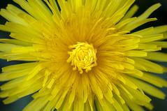 Dandelion, Taraxacum (ScarletBlack) Tags: flower dandelion taraxacum