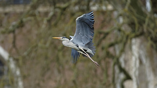 Heron in flight (2/3) : Climbing