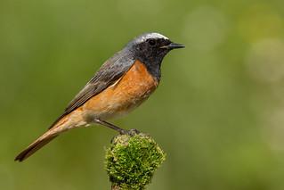 Codirosso comune - Phoenicurus phoenicurus