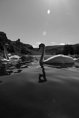 Edinburgh Ponds April 2018 (192 of 228) (Philip Gillespie) Tags: lochend park pond st margaret loch water wet birds swans seagulls pigeons drips drops sky cloud sun sunshine trees bushes leaves branches kite mono monochrome black white colour color green blue yellow red orange flowers door waves ripples reflections grass hill arthur seat low level close up landscape waterscape eyes beaks feathers people man girl ruin chapel church silhouette contra lumiere bench clouds flood rocks roof wire barbed goose splash reeds nature natural forest wood