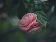 inside and outside unification (Kito K (fxkito2)) Tags: japan tokyo macro flower omd bokeh nature closeup lumix fineart olympus camellia pink dof