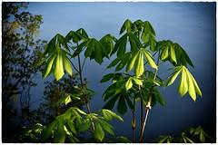 Kastanienblätter (r.wacknitz) Tags: licht kontrast kastanie pflanze grün maigrün morninglight frühlingsmorgen spring