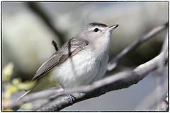 Warbling Vireo (RKop) Tags: d500 nikkor600f4evr 14xtciii raphaelkopanphotography handheld 4seasonsmarina ohio cincinnati warblers warbler