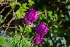 Tulips (frankmh) Tags: plant flower tulip hittarp helsingborg skåne sweden