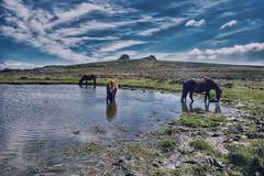 Ponies on the Moor (rmrayner) Tags: poniesonthemoor dartmoor haytor pond drinkingponies