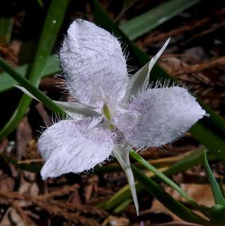 santa cruz mtns star tulip