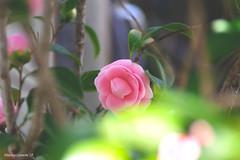 Camellia Japonica f. Otome/乙女椿 (bluehazyjunem) Tags: camellia camelliafotome tsubaki flower plant macro