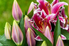 Lilies (westrail) Tags: nikon nikkor d810 dslr f28 digicam digitalkamera afs70200 vri lens objektiv fotograf photographer andreasberdan omot youmademyday europa europe österreich austria lilien lilies flowers pink