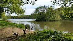 Miller's Pond (Week 45/52) (Mick PK) Tags: hardwick hardwickpark millerspond nationaltrust derbyshire eastmidlands uk bolsoverdistrict cameraphone samsunggalaxys5 samsung galsxy s5 hdr 5252 duck geese pond
