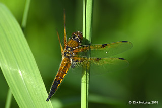 Four-spotted Chaser 207802gb