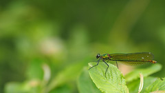 Calopteryx Splendens Female - 105mm Macro (Visual Stripes) Tags: calopterygidae odonata weidebeekjuffer vrouw olympusepm1 microfourthirds m43 mft sigma105mm macro handheld bokeh green