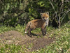Red Fox Kits 2 (KvonK) Tags: redfox kits wild nature spring may 2018 kvonk den fox