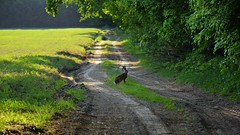 dinner time .-P (JoannaRB2009) Tags: rabbit animal cute spring nature green road path forest woods las field light shadow dirtroad kontrewers łódzkie lodzkie polska poland