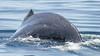 Humpback Whale (C McCann) Tags: humpback whale deep dive racerocks britishcolumbia canada vancouverisland watching cetacean swim pacific ocean