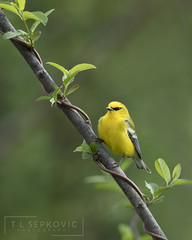 Blue-winged Warbler (T L Sepkovic) Tags: bluewingedwarbler warbler passerines canon 5d4 avianphotography wildlifephotography 5dmkiv promediagear lenscoat yellow