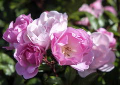 Roses for Mothers Day (San Francisco Gal) Tags: rose rosa flower fleur flora bloom blossom pink alcatraz roseterrace ngc
