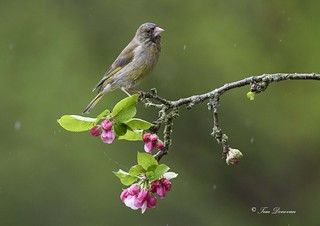 Greenfinch in the rain.