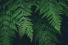 Fern Leaves (rachenbuosa) Tags: fern leaf leaves green jungle plant rainforest isolated black natural environment flora background white macro tropical nature forest beauty illustration pattern summer ferns spring foliage