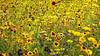 El Dorado (MrBlueSky*) Tags: flowers flowerscolors plants petal garden horticulture nature outdoor colour yellow orange green london canon canonpowershot art