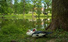 ducks (10) (Vlado Ferenčić) Tags: ducks lužnica lakes vladoferencic nikond600 vladimirferencic zaprešić hrvatska croatia animals animalplanet nikkor173528