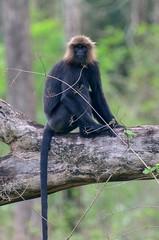 Nilgiri Langur (sreejithkallethu) Tags: nilgirilangur monkey wildlifeofwesternghats wildlifeofkerala wildlife parambikulamtigerreserve parambikulam palakkad kerala