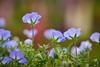 粉蝶花,Baby Blue Eyes (Vincent_Ting) Tags: 粉蝶花 微距 散景 babyblueeyes closeup macro bokeh garden