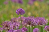 Colorful (W_von_S) Tags: blumen flower color colorful blumenwiese meadow bokeh natur nature farbig lila spring frühling mai may 2018 wvons werner sony sonyilce7rm2 tele 400mm focus fokus depthoffield schärfentiefe outdoor allium blüten blossoms