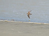 Flying Little Beauty!!! (Anirban Sinha 80) Tags: nikon d610 fx 500mm f4 ed vrii g n bokeh se natural shore bird wader wings inflight