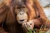 Willing to Share (helenehoffman) Tags: conservationstatuscriticallyendangered greatape wildlife aisha primate mammal indonesia orangutan sandiegozoo pongoabelii nature sumatra enrichment animal alittlebeauty coth coth5